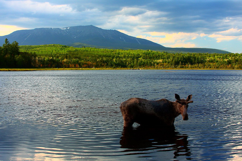 photo of moose standing in moosehead lake in front of mountain